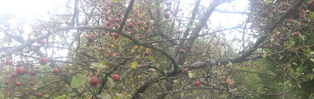 jabłonka
